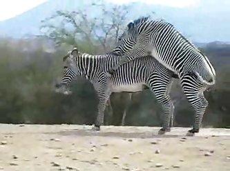 Zebra Climax Deshaked