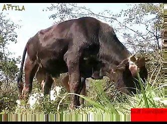 Man Gives Bull A Hand Job